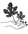 fig tree sofyaa